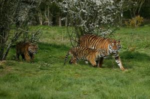 Tigres Sumatra