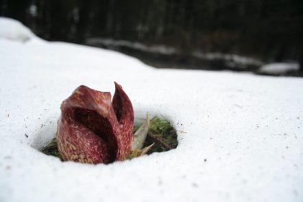 Une fleur de symplocarpe fétide | photo: Ryan Johnson